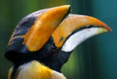 Close-up of the Rhinoceros Hornbill in Kuala Lumpur Bird Park, Malaysia. royalty free stock image