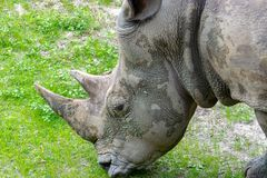 Close up on a rhinoceros nibbling on gras. S at an animal preserve in America stock photography