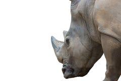 Close up rhinoceros portrait isolated on white background. Stock Image