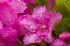 Close-up of rhododendron flowers with water drops Stock Images