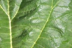 Close up of rhubarb leaf texture (Rheum rhabarbarum).  Stock Images