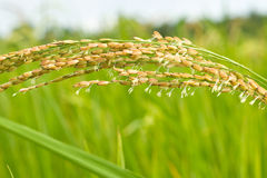 Close-up of Rice. Close up of Rice in Thailand Royalty Free Stock Photos
