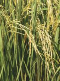 Close up rice in farm is grown and ready to harvest on sunlight royalty free stock image