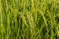 Close up of rice farm Stock Photography