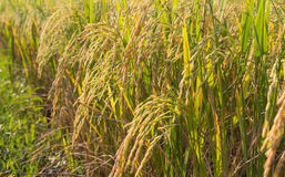 Close up of Rice in Field Stock Image