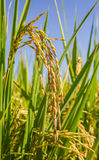 Close up rice in the field Stock Photography