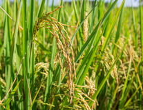 Close up rice in the field Royalty Free Stock Photo