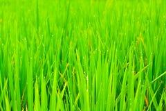 Free Close Up Rice Fields Stock Photos - 26518163