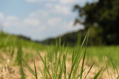 Close up rice fields Stock Photography