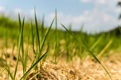 Close up rice fields Stock Photo