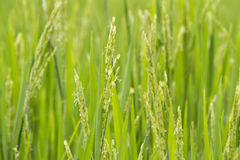 Close up of rice fields Stock Photo