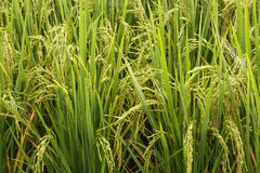 Close up Rice fields Stock Images