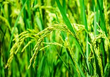 Close up rice, food plant growing up in the organic farm in the countryside. Close up rice, plant food growing up in the organic farm in the countryside of royalty free stock photos