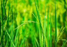 Close up rice, food plant growing up in the organic farm. Close up rice, plant food growing up in the organic farm in the countryside of Thailand stock images