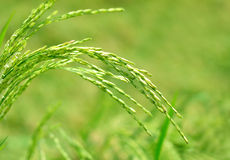 Close up of rice paddy in a field. Selective focus of rice paddy in a field royalty free stock photo