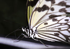 Close up of rice paper butterfly Royalty Free Stock Photo