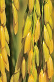 Close up rice plant. A close up of a yellow rice plant Royalty Free Stock Photos