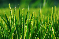 Close up of rice plant. Stock Image