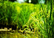 Close up rice, food plant growing up in the organic farm in the countryside. Close up rice, plant food growing up in the organic farm in the countryside of royalty free stock images