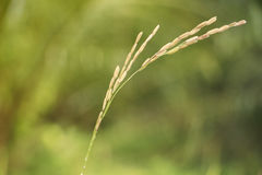 Close up rice plant and seeds Royalty Free Stock Images