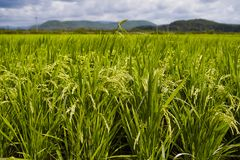 Close-up of rice plants in the rice field royalty free stock photography