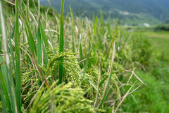 Close up rice plants in paddy field Royalty Free Stock Image