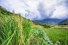 Close up rice plants in paddy field Royalty Free Stock Photo