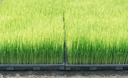 Close up of rice sprouts on plastic tray Stock Images