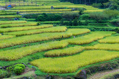 Close up of rice terraces steps with ripe rice plants Stock Images