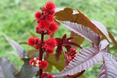 Close-up of Ricinus communis the castorbean or castor-oil-plant stock image