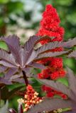 Castor bean. close up .Ricinus. Close-up of Ricinus communis with red flowers royalty free stock photos
