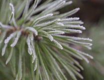 Close up rime frozen fir pine tree branch christamas winter firs. T frost snow green bokeh background Stock Photo