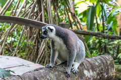 Close up of a ring-tailed lemur in Bali Zoo, Indonesia. Stock Photo