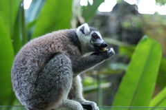Close up of a ring-tailed lemur in Bali Zoo, Indonesia. Stock Images