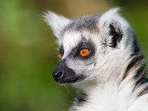 Close-up of a ring-tailed lemur Stock Image