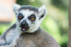 Close-up Ring-tailed lemur (Lemur catta) Stock Photos