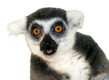 Close-up of ring-tailed lemur looking at camera is Stock Photo