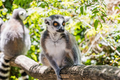 Close up of a ring-tailed lemur, portrait of Lemur. Royalty Free Stock Image