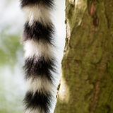 Close up of a ring-tailed lemur tail texture stock photos