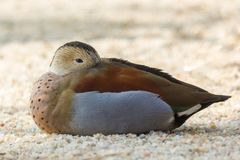 Close up of a Ringed Teal duck. Stock Images