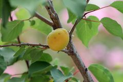Close-up of a ripe apricot growing in the garden stock image