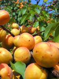 Close-up of the ripe apricots Stock Photo