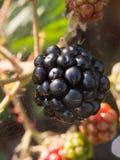 Close up ripe big black black berry outside. Essex; England; UK Royalty Free Stock Image