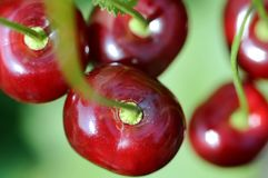 Close-up of ripe cherries on a tree in the garden Stock Photo