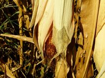 Close-up of a ripe corn clip