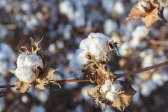 Close-up of ripe cotton boll. On a blurred background Royalty Free Stock Photo
