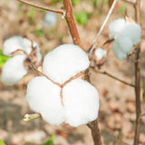Close-up of Ripe cotton bolls Stock Photography
