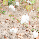 Close-up of Ripe cotton bolls Royalty Free Stock Photo
