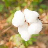 Close-up of Ripe cotton bolls Royalty Free Stock Photography
