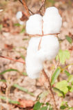 Close-up of Ripe cotton bolls Royalty Free Stock Image